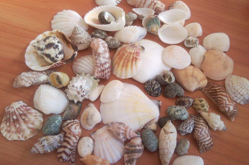 MIXED SHELLS ( 1-6cm )