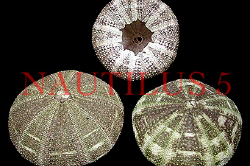 Urchin Alfonso 3