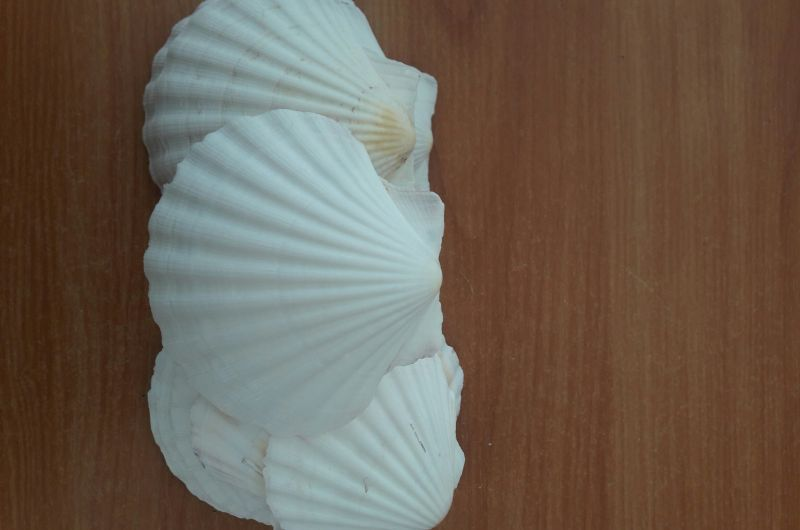 Scalop seashell