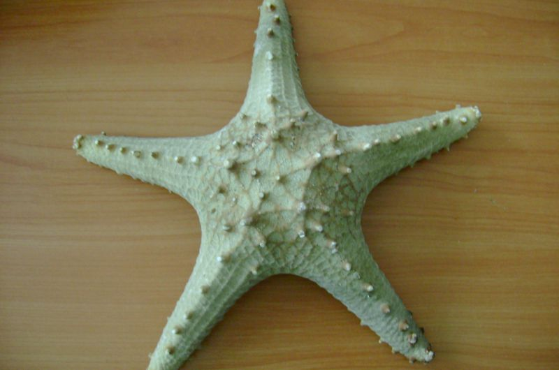 Spin Starfish 13-15