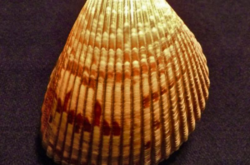 Brown Shell