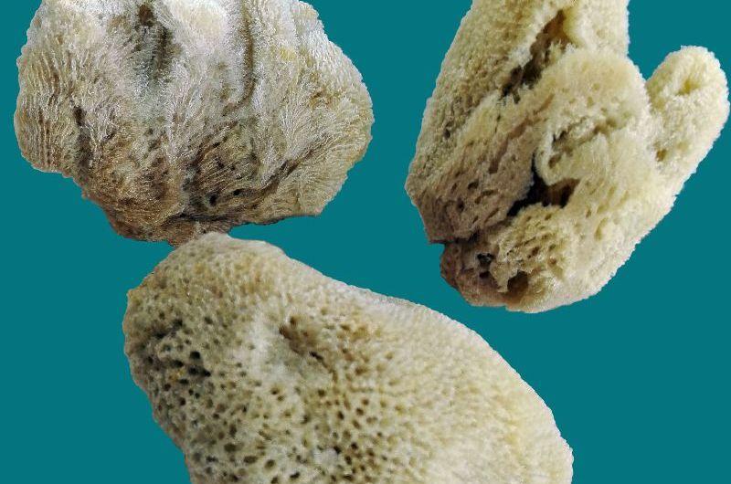 Морска коралова гъба